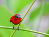 The Little Red Dot (Robert-Ang) Tags: sunbird crimsonsunbird outdoor singapore jurongecogarden watercanna swamplily