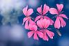 Stars shine bright above (Hanna Tor) Tags: art artistic color bright bokeh flora garden stars hannator flowers nature sonyr7m3