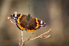 Vanessa Atalanta (Not Afraid Coming Winter) (mikhailkorzhalov) Tags: canon tamron tamron70300 249mm f71 nature branch winter fauna flora tree plant insect insects flyinginsects wings butterfly butterflies vanessaatalanta vanessa atalanta bokeh