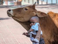 Cowabunga (Pejasar) Tags: cow cowabunga holycow rishikesh india pilgrims baby presented introductions child mammal