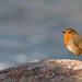 Perros-Guirec - European Robin
