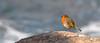 Perros-Guirec - European Robin (Drriss & Marrionn) Tags: travel brittany bretagne france outdoor perrosguirec côtedegraniterose coast coastline shore seaside ocean rockformation rocks water sky sea rock graniterose boulder boulders frenchcoast bird birds animal animals europeanrobin aves taxonomy:binomial=erithacusrubecula taxonomy:genus=erithacus taxonomy:species=rubecula taxonomy:subfamily=saxicolinae taxonomy:family=muscicapidae taxonomy:superfamily=muscicapoidea taxonomy:parvorder=passerida taxonomy:suborder=passeres taxonomy:order=passeriformes taxonomy:superorder=passerimorphae taxonomy:subsection=picoclamatores taxonomy:section=anomalogonates taxonomy:subdivision=dendrornithes taxonomy:division=terrestrornithes taxonomy:subcohort=neonaves taxonomy:cohort=neognathae taxonomy:subclass=aves taxonomy:class=reptilia erithacusrubecula robin muscicapidae sand red passeriformes