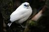 Bali Myna (Bryan OHara) Tags: fujifilm fuji fujinon xf 100400mm x xt2 bird beak wing feathers bali starling myna