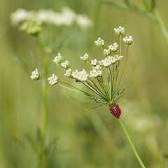 Reprendre le cours des choses **---+°-°° (Titole) Tags: graphosome umbel umbellifer ombellifère ombelles queenanneslace squareformat titole nicolefaton red green sripes challengeyouwinner 15challengeswinner thechallengefactory gamex2