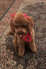 Candy's Marley after first haircut at 6 months!