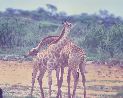Giraffe necking Etosha, VI, 4495