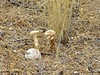 Symbiotic Mushrooms - Sabino Canyon Nature Walk - December 27, 2017 (Chic Bee) Tags: mushroom symbiotic symbiosis sabinocanyon naturewalk undergroundplant mesquite tree tucson arizona americansouthwest southwesternusa sonorandesert