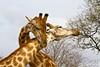 Fighting Giraffes (M_Hauss) Tags: africa afrika südafrika southafrica bush bushveld safari krueger krüger girafe girafes fighting fight