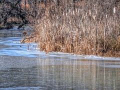 Cattails By The Bank (clarkcg photography) Tags: cattails bank creek ice frozen water winter brown fauna plants growth seeds 7dwf flora