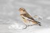 Pretty Snowbird (rdroniuk) Tags: birds passerines smallbirds snowbunting plectrophenaxnivalis oiseaux passereaux bruantdesneiges