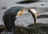 Dinner for one (muppet1970) Tags: cormorant roach bird fish water christchurchpark ipswich wildlife nature feeding fishing