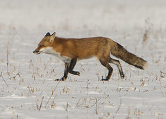Red Fox_2 (Thomas Muir) Tags: tommuir woodcounty perrysburg ohio vulpesvulpes male snow nature outdoor mammal animal catlike nikon d800 600mm midwest tundra winter landscape foxy fur wildlife graceful daytime