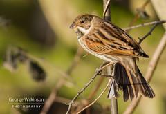 Common Reed Bunting (Emberiza schoeniclus) (George Wilkinson) Tags: common reed bunting emberizaschoeniclus canon 7d 400mm rspb old moor south yorkshire uk britain british england bird wildlife