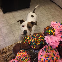 Zoe was hoping one of the cupcakes would jump into her mouth. (queenbee2zz) Tags: rescueisthebestbreed pitbullmix zoe