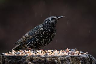 European (Common) Starling  -  Star ♂︎