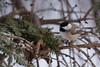 Black-capped Chickadee (dbifulco) Tags: bcch nature bird birds blackcappedchickadee branch cold evergreen newjersey outdoors tree wildlife winter