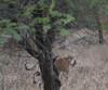 DSC_0153_1 (Marshen) Tags: royalbengaltiger ranthambore india
