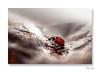 Errance ... (jeremie.brion) Tags: coccinelle ladybug nature macro proxy