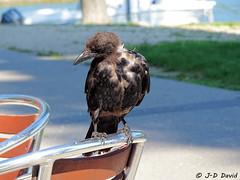 Ma copine la Corneille 2 (jean-daniel david) Tags: closeup nature oiseau corvidé corneille noir