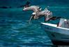 Fishing (Robert Streithorst) Tags: diving fishing hunting inflight oasisoftheseasrobertstreithorst pelican