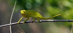 Out on a limb (LeftCoastKenny) Tags: madagascar isalo isalonationalpark day10 chameleon