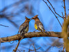 CEADAR WAXWINGS (imeshome) Tags: cedar waxwing blue nature sharing grapes wild towpath wildwood