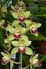 Cymbidium Sue Green (Nurelias) Tags: d7100 colorful cooksbridge england mcbeans uk odontoglossum nursery famous breeding nikon