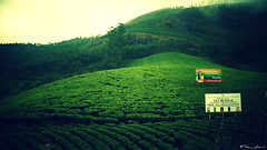 Tea View (the_yellow) Tags: munnar green kerala tamilnadu india nature travel sonyslta58 sony alpha58 hills hill hilltop cloudy foggy tea teaplantation