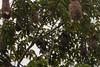 IMG_7496-2 (jaglazier) Tags: 121717 2017 copyright2017jamesaglazier december deciduoustrees ecuador napowildlifepreserve napowildlifepreserveecolodge naturepreserves nests orellana trees animals birds gardens oropendola parks