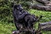 2017 From the Cutting Room Floor-67 (AaronP65 - Thnx for over 10 million views) Tags: gorilla burgerszoo arnhem gelderland netherlands