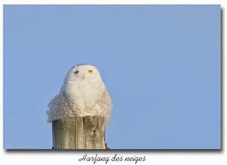 Harfang des neiges / Snowy Owl  153A4786b