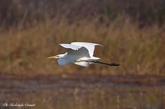 Airone bianco maggiore _010 (Rolando CRINITI) Tags: aironebiancomaggiore uccelli uccello birds ornitologia racconigi natura