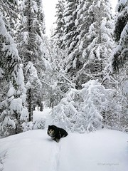 """""""Really mom? Is this a trail?? I'm drowning..."""" (evakongshavn) Tags: winter winterwonderland winterwald winterlandscape neige snow snowdog frosty mrfrost frost frozen trail paysage landscapephotography landscape landschaft natur nature naturphotography naturephotography covered snowcovered tree arbre hivernal hiver dog dogsonadventures dogs dogsofnorway flickrdogs walkingthedog dogphotography dogsthathike outside outsidepictures outdoors outdoorsphotography lifethroughahole"""