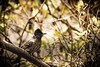 Bulbul bird!! The bird with a crown. (vikramgopinath) Tags: bird nature india animal bulbul world livingthings
