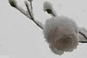 Snow white (Landleven (Irma Lit)) Tags: geocountry exif:make=nikoncorporation camera:model=nikond300 geostate exif:focallength=60mm geocity exif:model=nikond300 exif:isospeed=200 exif:aperture=ƒ80 geolocation exif:lens=600mmf28 camera:make=nikoncorporation winters winter buiten roos klimroos climbingschneewittchenrose sneeuw wit sneeuwwit thuis tuin lopik zondagmiddag