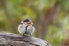 Welcome to the world  DSC_4550 (BlueberryAsh) Tags: apollobay ccc birds babybird welcomeswallow australianbird wildlife nikond500 tamron150600