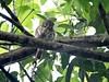 Caburé - Glaucidium brasilianum - Ferruginous Pygmy-Owl (Victor Abreu de Araujo) Tags: coruja owl