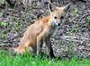 DSC_0738 (RachidH) Tags: fox renard vulpes foxcub renardeau redfox renardroux vulpesvulpes backyard frontyard wildlife sparta newjersey nj rachidh nature
