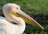 Pelican Portrait! (RiverCrouchWalker) Tags: pelicanportrait pelican stjamesspark london bird greatwhitepelican pelecanusonocrotalus