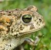 Natterjack Toad Epidalea calamita 21.5.17 (8) (wildlifelover69) Tags: natterjacktoad epidaleacalamita amphibians
