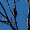 Hairy Woodpecker (Dendroica cerulea) Tags: hairywoodpecker picoidesvillosus picoides dendropicini picinae picidae picides pici piciformes aves woodpecker birds winter highlandparkmeadows highlandpark middlesexcounty nj newjersey