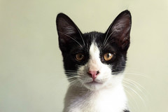 Enki (rsoledadvf) Tags: chile cat pet