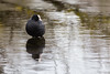 Seule au monde - Alone in the world (bboozoo) Tags: nature animal wildlife foulque coot lac lake canon6d tamron150600 reflet reflection
