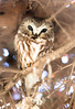 Northern Saw-Whet Owl (lauren_larsenn) Tags: northern saw whet owl lauren larsen wildlife photography park northeastern oregon pacific northwest raptor small bird wild northernsawwhetowl laurenlarsen wildlifephotography northeasternoregon pacificnorthwest