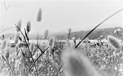 288. BEACHSIDE 9: Dune Ink-Wash 1 (Meili-PP Hua 2) Tags: flora plants plant leaves flowers flower buds petals blossoms blooms mlpphflora leaf monocots monocotyledons grass grasses harestails dunegrass weeds coastalplants blackandwhite monochrome landscape mlpphlandscape blackwhitephotography black white monochrom macro coastalflora coastalgrasses coastalgrass coastalbotanicals dunegrasses beachvegetation beachflora duneflora beachgrass beachgrasses mlpphnature blackandwhitephotography blackwhite whiteblack bw monochromatic gray grey mlpphbwphotos photographypassionsxyz
