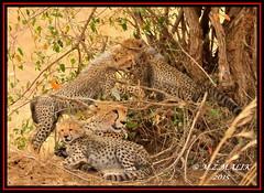 FEMALE CHEETAH WITH HER CUBS (Acinonyx jubatus).....MASAI MARA....OCT 2015. (M Z Malik) Tags: nikon d3x 200400mm14afs kenya africa safari wildlife masaimara maraserena exoticafricanwildlife exoticafricancats flickrbigcats cheetah cheetahfamily ngc npc