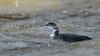 Great Northern Diver (matthewprice172) Tags: gnd greatnortherndiver sara sharpness