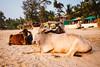 JA_20180106_133935.jpg (sadetutka) Tags: pack goa asia india basking horns cow sunset sand sea agonda agondabeach brisbane queensland australia