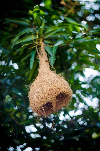 sarang burung tempua (1 of 1)
