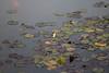 Museu de Arte da Pampulha (Johnny Photofucker) Tags: museudapampulha minasgerais mg água acqua water paisagismo burlemarx ninfeia nymphaea lightroom belohorizonte bh pampulha planta pianta plant vegetação map peixe pesce fish
